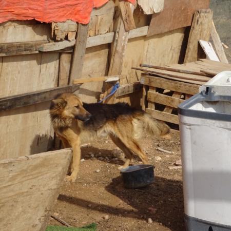 Wachhund im Lager, Winterhilfe in Jordanien